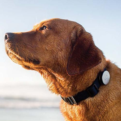 The Whistle Wireless Activity Tracker for Dogs