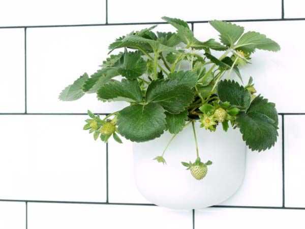 Eden Suction Planter Works with Windows, Tiles and Any Smooth Flat Surface